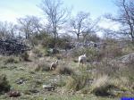 Baou St Jeannet: Moutons sur les pentes du Baou St Jeannet.
