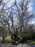 Le Gros Chêne: Le Gros Chêne, énorme chêne sur le Baou de la Gaude