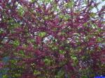 Arbre en fleurs: Arbre en fleur dans Piène Haute