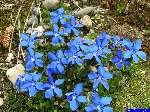 gentiane: Une fleur de gentiane.
