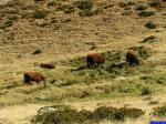 14227: Les vaches seront les seuls animaux vus ce jour.