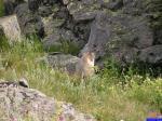 Marmotte: Marmotte sur le plateau de Morgon