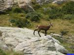 Chamois: Jeune chamois entre le Lac Noir et le Lac du Basto.