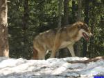 Canis lupus italicus: Parc Alpha