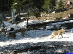 Canis lupus lupus: Parc Alpha