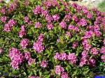 Rhododendron ferrugineum: