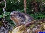 PICT1973: La première marmotte, très curieuse.