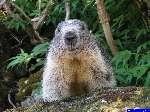 PICT1979: La première marmotte, très curieuse. Photo au 35mm.