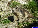 PICT1996: La deuxième marmotte, très gourmande. Nourrie avec le pain du pique-nique.