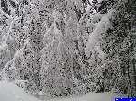 PICT5146: Chemin Bloqué par les arbres enneigés.