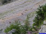 PICT8845: Groupe de Chamois sur la pente de Peyre-Rouge