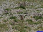 PICT8861: Marmotte en observation dans la pente sous le Pas du Fouillet.