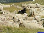 PICT8902: Le diable au milieu des agneaux ;)