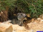 PICT8936: Marmotte sortant de son terrier dans la Montagne du Lau.